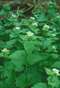 Garlic Mustard in Wisconsin