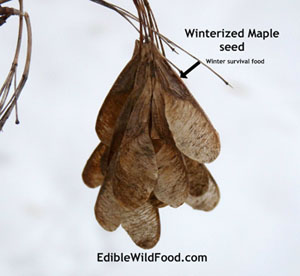 Maple Tree Seed