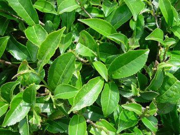 Tea Plant Leaves