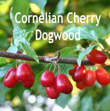 Cornelian Cherry Dogwood