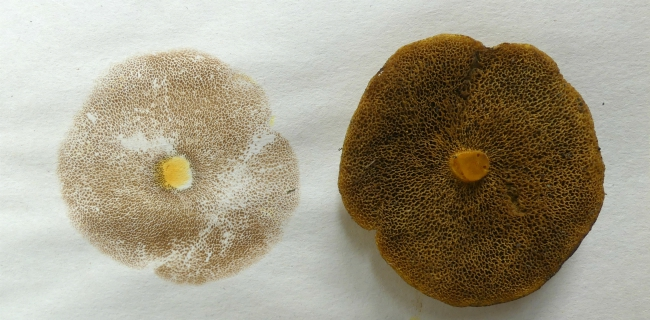 how to grow mushrooms from spore prints