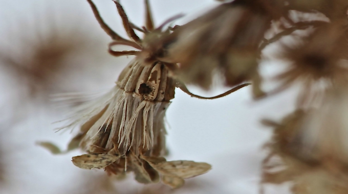 Edible Wild Food Blog  U00bb Winter Weed Identification