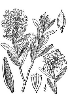 Labrador tea drawing
