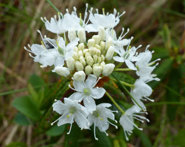 Labrador tea flower in bloom