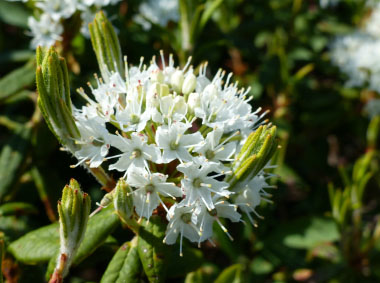Labrador tea flower