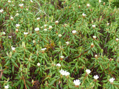Labrador tea plants