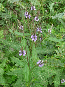 blue vervain plant