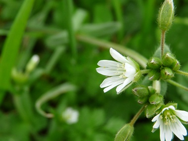 chickweed flower