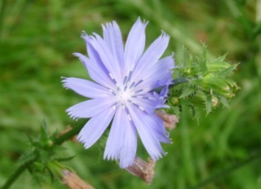 chicory picture