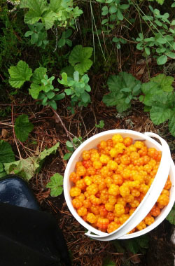 harvested cloudberries