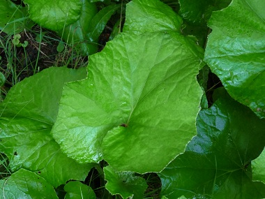 coldsfoot leaf