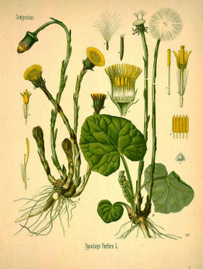 coltsfoot drawing