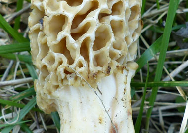 common morel closeup