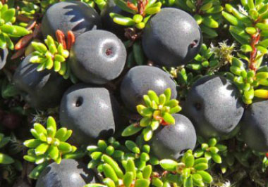 crowberry ripe