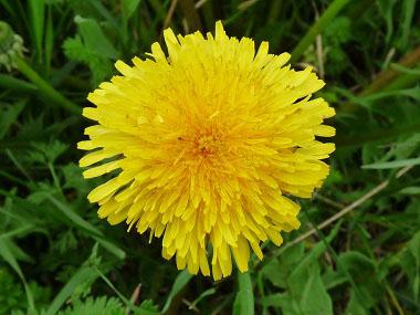 Dandelion: Pictures, Flowers, Leaves and Identification | Taraxacum