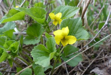 Downy Yellow Violet flowers