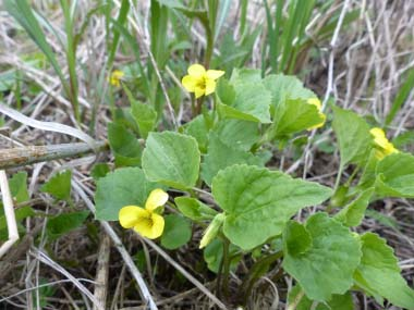 Downy Yellow Violet plant
