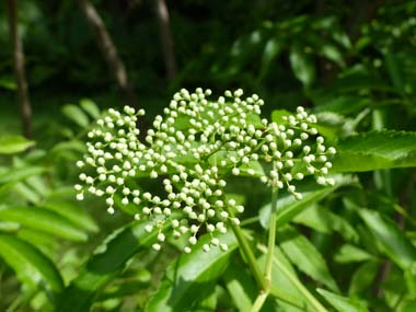 elderberry buds