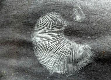 Elm Oyster Identify Via Pictures Habitat Season Amp Spore