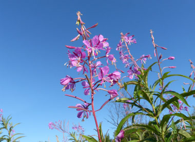 fireweed plant sideview