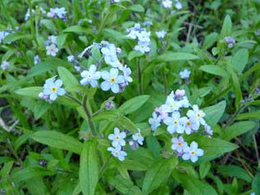 Forget Me Not: Pictures, Flowers, Leaves and Identification ...