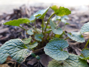 garlic mustard yearone