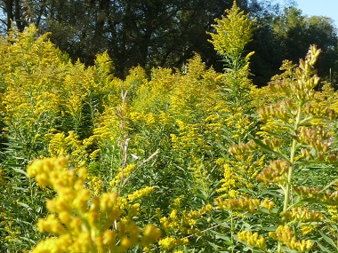 goldenrod dating Today, the goldenrod is on display at the henry ford museum in dearborn,  the 125th japanese monarch along an imperial line dating back to 660 bc,.