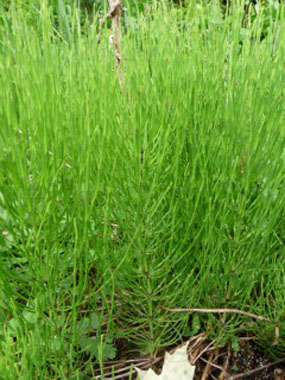 horsetail picture