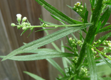 Horseweed_ leaves