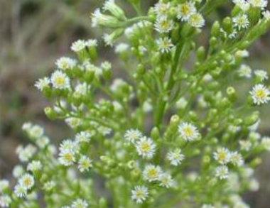 Horseweed flower