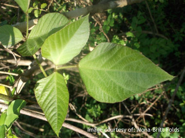 Kudzu: Pictures, Flowers, Leaves and Identification ...  Kudzu: Pictures...
