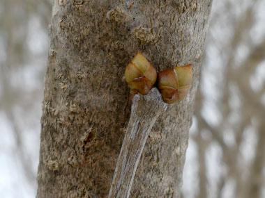 Lilac Identification Leaves Bark Amp Habitat Syringa Spp
