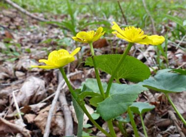 marsh marigold upper stem