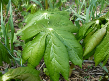 Mayapple Pictures Flowers Leaves and Identification