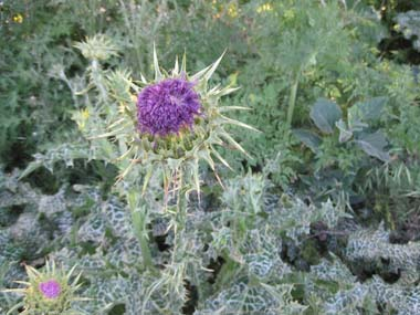 Milk Thistle Pictures Flowers Leaves And Identification