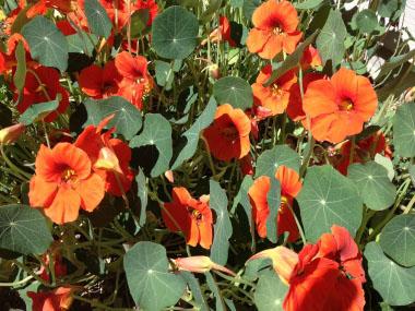 Nasturtium Pictures Flowers Leaves And Identification