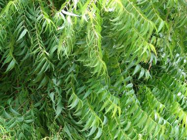 Neem Identification Leaves Bark Amp Habitat Azadirachta