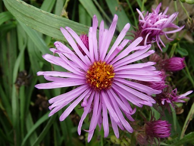 new england aster flower