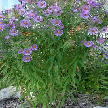 new england aster picture