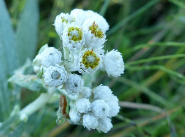 pearly everlasting flowers