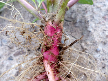 pigweed root