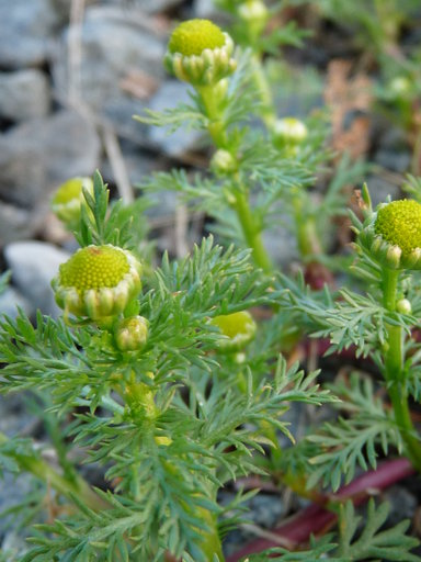 pineapple weed image