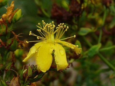 St johns wort pictures flowers leaves and identification st johns wort pictures flowers leaves and identification hypericum perforatum mightylinksfo Choice Image