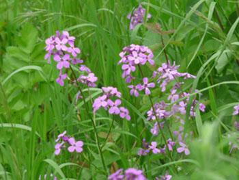Flowers Sweet Rocket Image