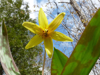 Trout lily pictures flowers leaves and identification trout lily plant trout lily plant trout lily mightylinksfo