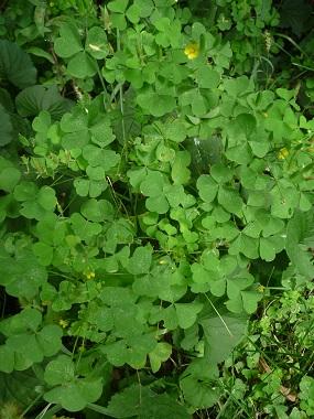 wood sorrel plant