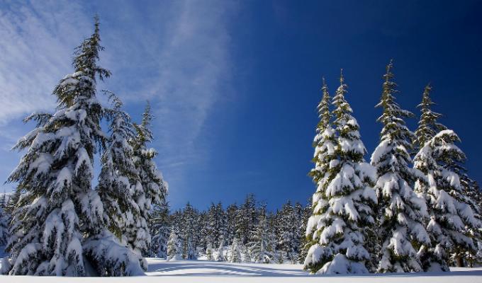 Winter conifer scene