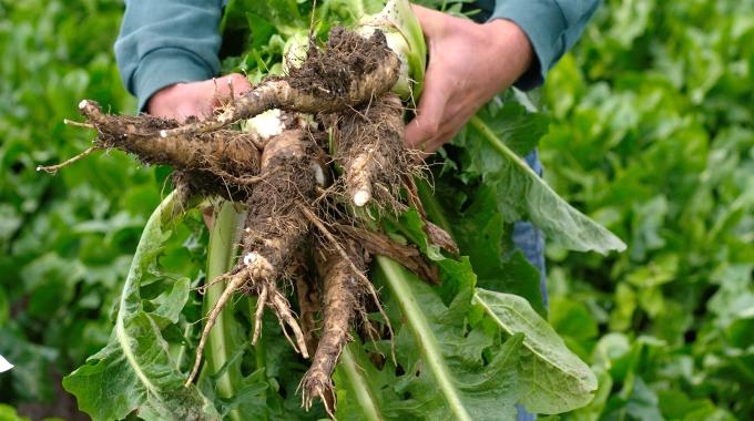 [Image: root-harvesting.jpg]