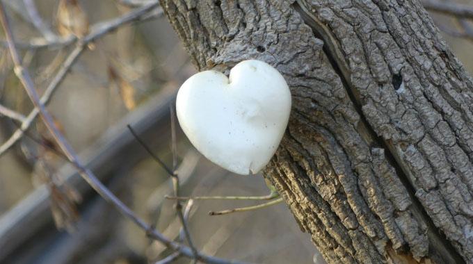Elm Oyster Heart