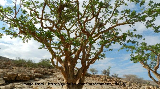 Arabian Balsam